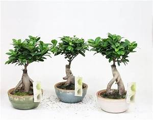 Bonsai Ficus Ginseng : bonsai ficus ginseng in retro ceramics florastore ~ Buech-reservation.com Haus und Dekorationen