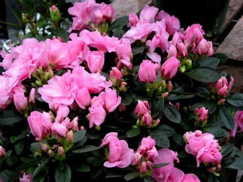 azaleas as houseplants can you grow azalea indoors
