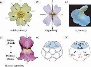 Trends in flower symmetry evolution revealed through ...
