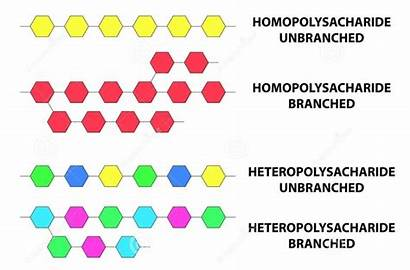 Polysaccharides Types Illustration Polysaccharide Monomer Biomolecules Carbohydrates