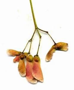 Ahorn Frucht Name : japanischer schlitzahorn details baumbestimmung laubh lzer bestimmen acer palmatum ~ Frokenaadalensverden.com Haus und Dekorationen