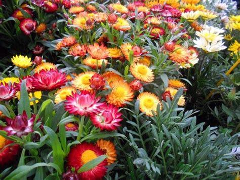 elicriso fiori elicriso lucido fior di carta helichrysum bracteatum