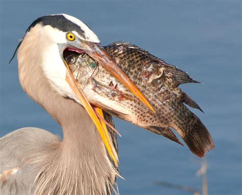 photo video sharing by smugmug great blue herons
