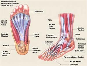 Foot And Ankle Bone Joint Anatomy Model  U2013 Anatomy Human