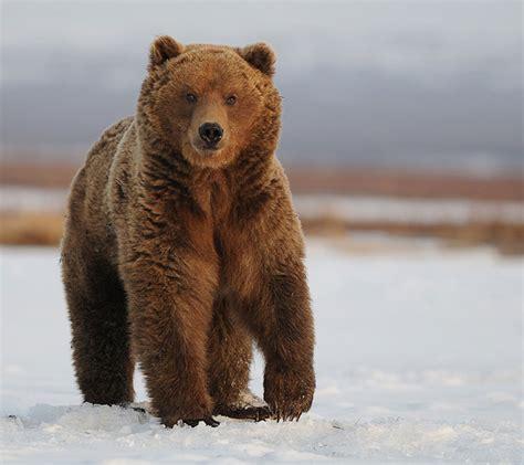 Виды медведей – описание и фото . семейство медведей