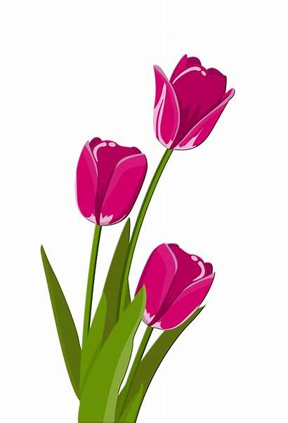 Tulips Clipart Clip Illustration Pink Cliparts Clipground