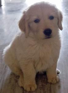 Cutest Golden Retriever Puppy Ever | Amazing Pics | Pinterest