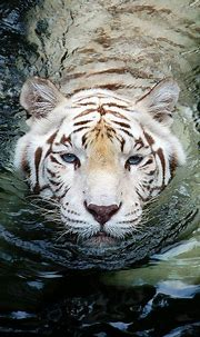 Astounding 25 Best White Tiger Photographic https ...