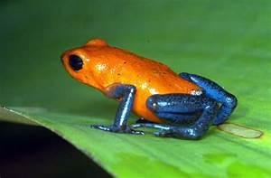 Poison Dart Frog | biologypop