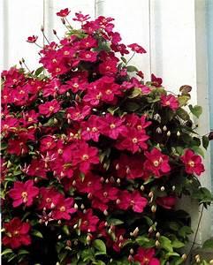 Clematis Für Schatten : clematis ville de lyon 1 pflanze kletterpflanzen pflanzen online verschicken auf ~ Frokenaadalensverden.com Haus und Dekorationen