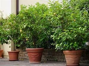 Bäume Für Kübel : die besten 25 zitrusbaum ideen auf pinterest ~ Michelbontemps.com Haus und Dekorationen