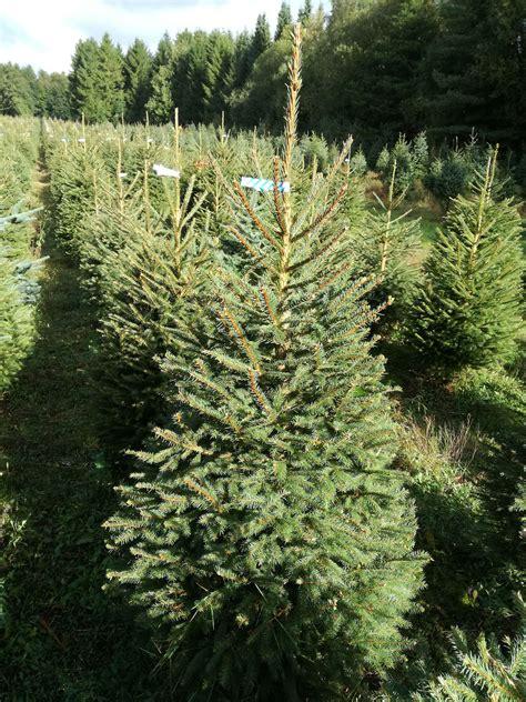 norway spruce christmas tree picea abies grown in denmark