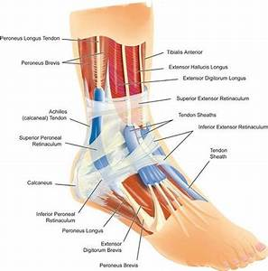 Plantar Aspect Of Foot Diagram