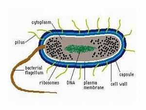 Structure  Growth And Reproduction Of Bacteria