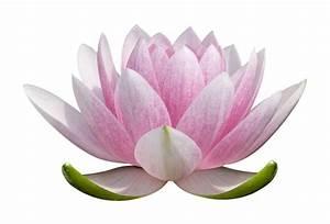 Lotus Flower PNG images free download