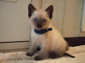cat and mix mixed breed other cat picture 2474 pet gallery