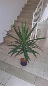 Yucca Palme Garten : pflanzen yucca palme ~ Lizthompson.info Haus und Dekorationen