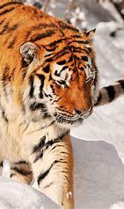 Tiger 4k Ultra HD Wallpaper   Background Image   4288x2848 ...