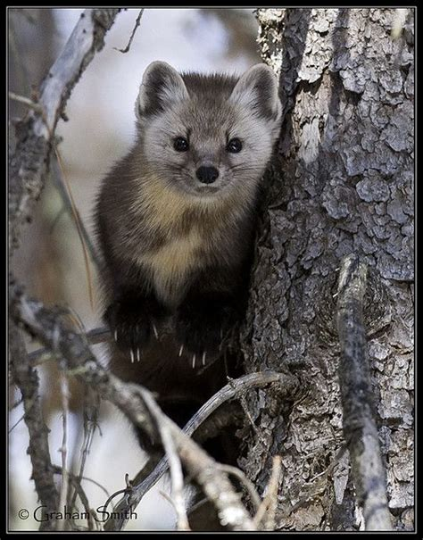 Pine Marten Beauty In Creation Pine Marten Baby