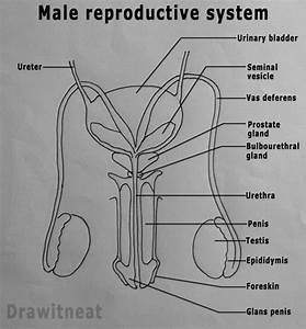 Male Reproductive System Diagram Without Labels Front View ...