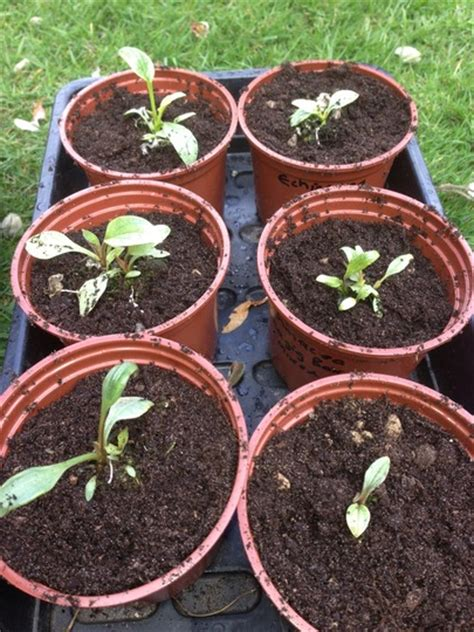 growing echinacea in pots growing echinacea in pots 28 images pictures of flowers great container garden recipes 17