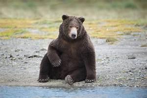 Back in the U.S.A.: Coastal Brown Bears of Katmai, Alaska ...