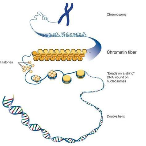 Diagram Of Chromatin by The Structure And Function Of Chromatin Creative
