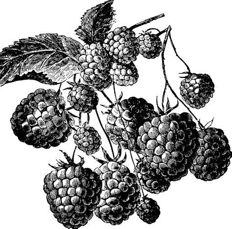 raspberry bush clipart black and white strawberry clip fruit clip downloadclipart org