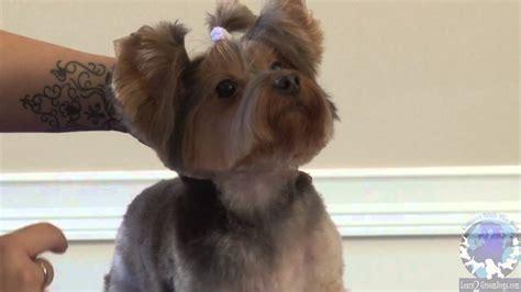 grooming  pet yorkie   bella bottom trim part