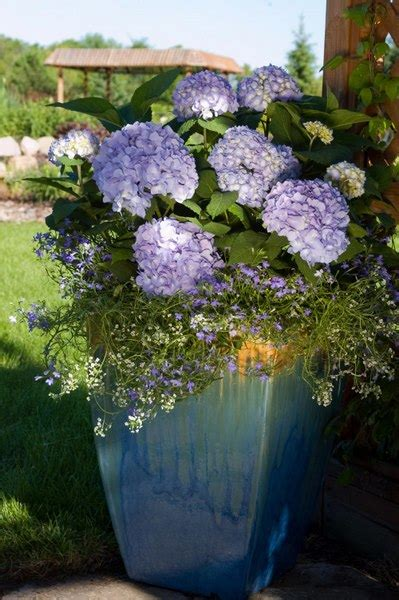 feeding hydrangeas in pots are your endless summer hydrangeas underblooming here s how to fix that homestead gardens