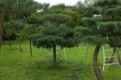 niwaki pine pruning