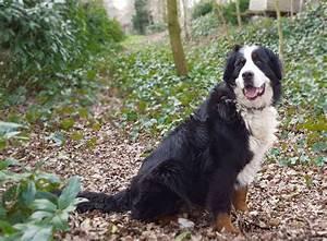 Berner Sennenhund Gewicht : berner sennenhund rasseportrait im hunde magazin zooroyal magazin ~ Markanthonyermac.com Haus und Dekorationen