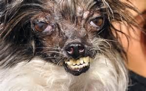 world s ugliest dog youtube