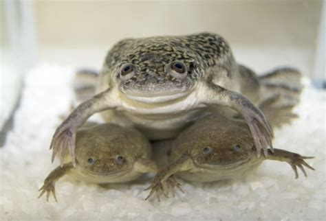 clawed frog african clawed frog genome contains two full sets of chromosomes from 2 two extinct ancestors