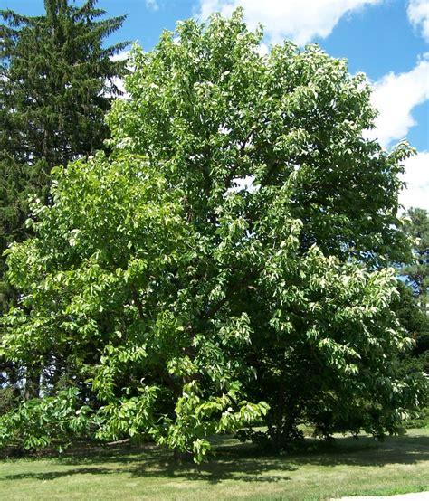 magnoloa tree magnolia acuminata wikipedia