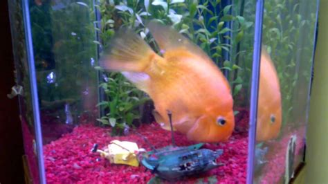fish tank for office 15 year blood parrot cichlid