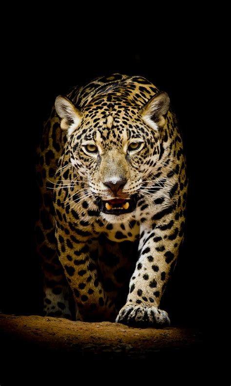 Jaguar Animal Iphone Wallpaper - leopard 4k hd wallpapers hd wallpapers id 22564