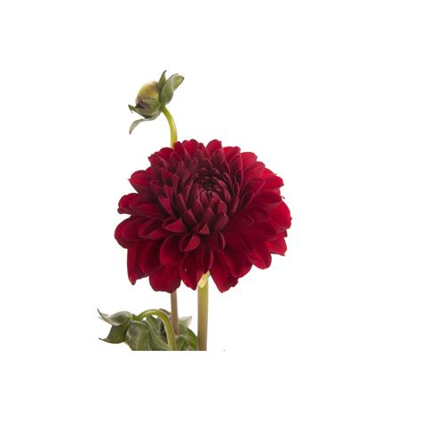 dark red dahlia flower dahlias types  flowers