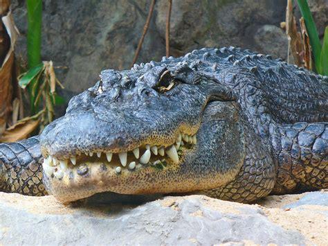aligator cuisine file alligator mississippiensis 01 jpg