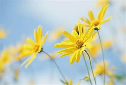 Yellow Flowers Nature Plants Desktop Background Wallpapers