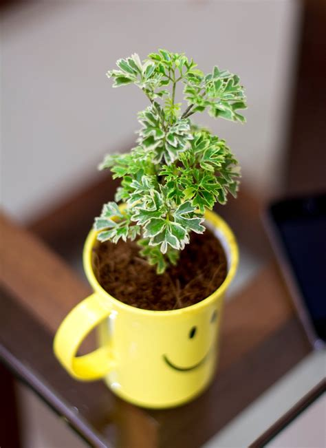 Aralia Variegated Plant in Smiley Cup - Plants Online ...