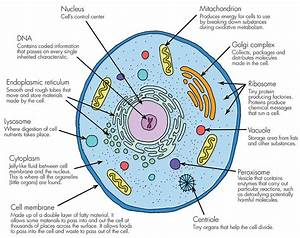 Why Cell Is The Basic Unit Of Life