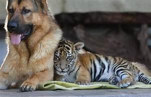 Jehan Ara picks a 'dog and tiger hybrid' to describe ...