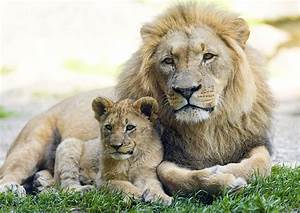Lion Cub With Dad  Photographic Wildlife Print Poster