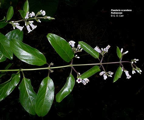 malodorous plant flowering plant families uh botany