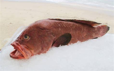 grouper species santa seafood santamonicaseafood