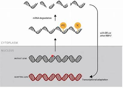Genetic Compensation Mrna Mechanism Degradation Mutant Termination