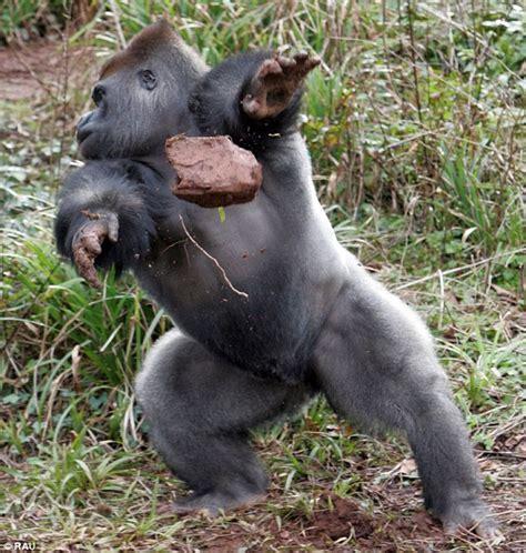 I said NO photographs! Lowland gorilla throws rocks as he ...