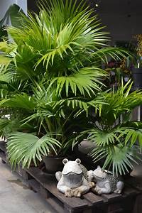 Palmier De Jardin : palmier decoration jardin palmiers jardins et centre ~ Nature-et-papiers.com Idées de Décoration