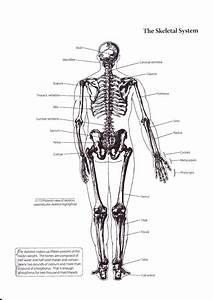 Skeletal System Back View